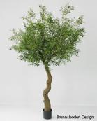 Olivetree 240 cm