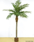 Majesty Palm Höjd 330 cm