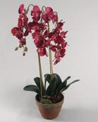 Phalanopsis Red 75cm