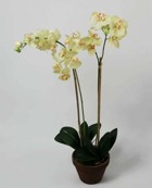Orchid Phalanopsis Yellow 75cm