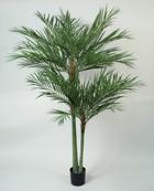 Areca Palm 240cm