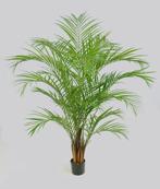 Areca Palm 170cm