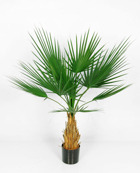 Whasingtonia palm 120 cm
