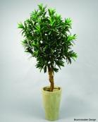 Croton 180cm