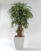 France Ficus
