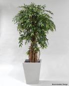 France Ficus 170cm