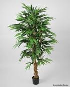 Longifolia 170cm