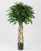Ficus Exotica 140cm