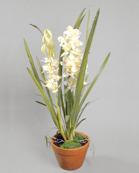 Cymbidium Orkide 110cm