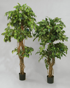 Ficus 2-head tree 170 cm