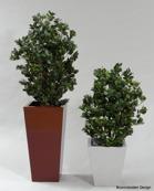 Ficus Panda 80cm