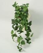 Murgröna 6-pack