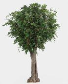 Ficus Gigant 380cm  Offertpris