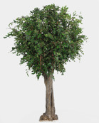 Ficus gigant 480cm Offertpris