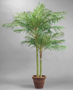 Areca Palm 210 cm - Areca Palm 210 cm