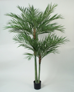 Areca Palm 240cm - Areca Palm 240cm