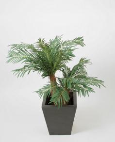 Cykas palm 90 cm - Cykas palm 90 cm