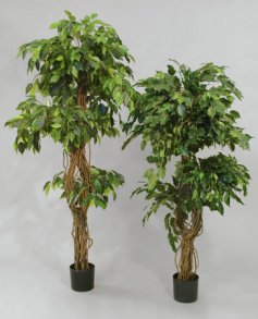 Ficus 2-head tree 170 cm - Ficus 2-head tree 170 cm