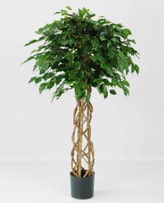 Ficus Exotica 140cm - Ficus Exotica 140cm