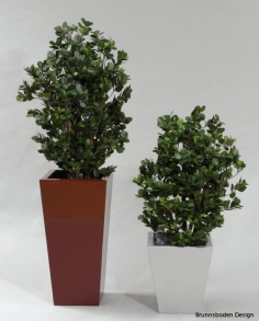 Ficus Panda 80cm - Ficus Panda 80cm