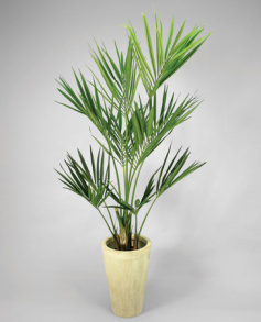 Kentia Palm 240 cm - Kentia Palm 240 cm