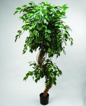 Ficustree Irregular strain 205cm