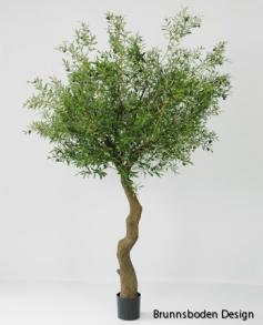 Olivetree 240 cm - Olivetree 240 cm