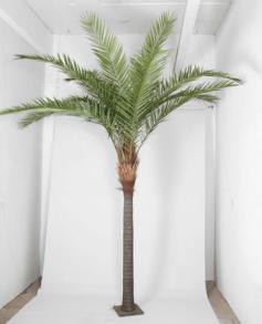Phoenix Canarie palm 360cm - Phoenix Canarie palm 360cm