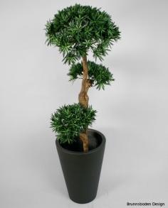 Podocarpus 170cm - Podocarpus 170cm
