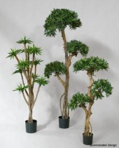Podocarpus 115cm - Podocarpus 115cm