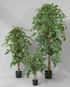 Ficus Golden 190cm - Ficus Golden 190cm