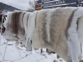 Impregnerade Polar renskinn - Impregnerade Polar renskinn