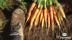 KRAV odlade ekologiska morötter Halland gårdsbutik och självplock