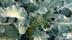 Ekologisk odling broccoli Halland gårdsbutik och självplock