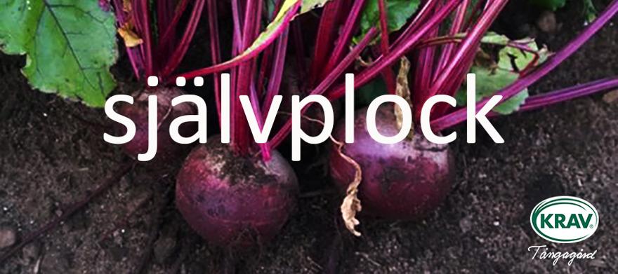 Självplock av ekologisk  KRAV-odlade grönsaker & rotfrukter på Tångagård i Falkenberg mitt i Halland mellan Ullared & Varberg. KRAV-godkänd grönsaksodlare!