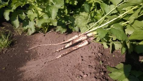 Vi odlar ekologisk och KRAV-godkänd palsternacka på Tångagård i Falkenberg, Halland