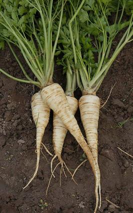 Vi odlar ekologisk och KRAV-godkänd persiljerot även kallad rotpersilja på Tångagård i Falkenberg, Halland