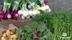 KRAV-certifierad ekologisk odling av grönsaker och rotfrukter på Tångagård utanför Falkenberg i Halland