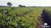 KRAV-certifierad ekologisk odling av potatis Tångagård utanför Falkenberg Halland