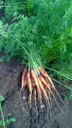 Vi odlar ekologisk och KRAV-godkända morötter på Tångagård i Falkenberg, Halland