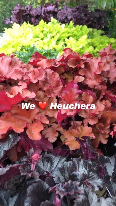Dessa fantastiska Heuchera i så många färger