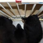 three puppies  Humla coloured muzzle P1550441