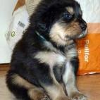 Daalia puppy P1630467