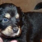 Freja puppy P1630379