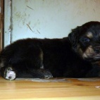 Freja puppy P1630385