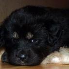 Freja puppy P1630395