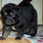Freja puppy P1630454