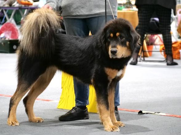 Foto: Cindy Martiin. Fotot taget vid Tibethund 2019