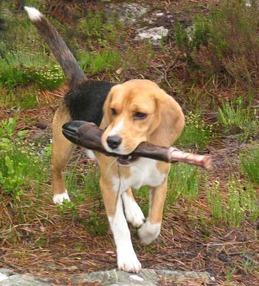 Blodsporhund