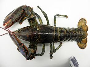 Lobster - Lobster 800 gr